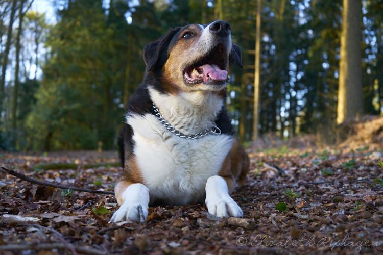 Timo hond kruising appenzeller kijkt omhoog