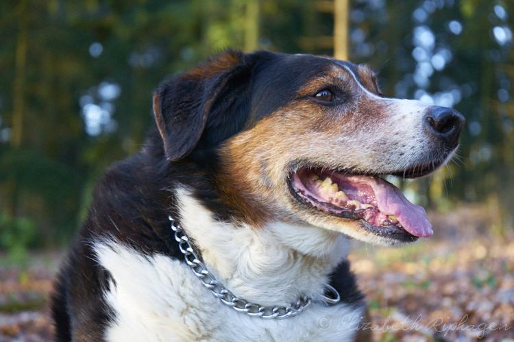 Timo hond kruising appenzeller kop