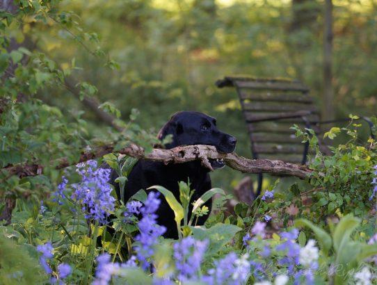 Biondo hond labrador apporteert tak