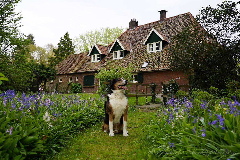 Timo hond appenzeller bewaakt zijn huis