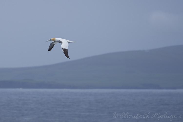 shetland eilanden en jan van gent